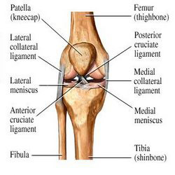 medial and lateral collateral ligament injury -, Human Body