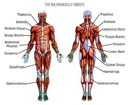strength training -, Muscles